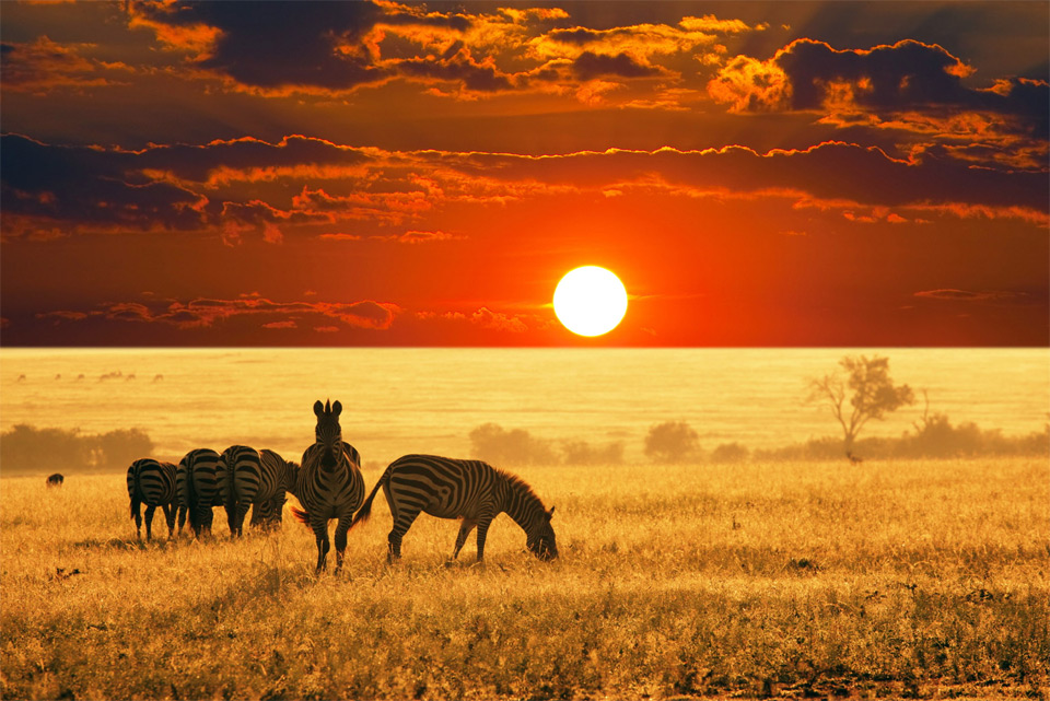 zebras-at-sunset